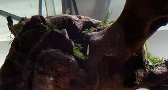 Fissidens fontanus collée sur la souche