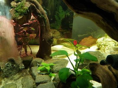 Sur cette photo on voit mieux l'Echinodorus Ozelot Red