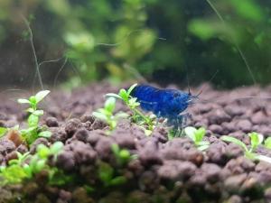 Neocaridina heteropoda Blue Velvet