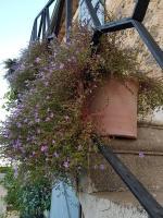 Des fleurs de Bacopa
