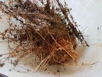 La récolte du Bacopa séché
